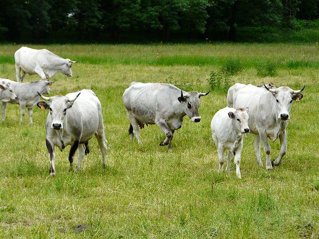 Vaches de la race gasconne à Antignac, Haute-Garonne,  crédits : http://commons.wikimedia.org/wiki/File:Gasconnes_Antignac_%283%29.JPG