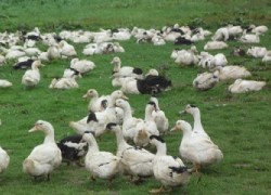 Une pétition pour préserver les éleveurs de volailles en plein air